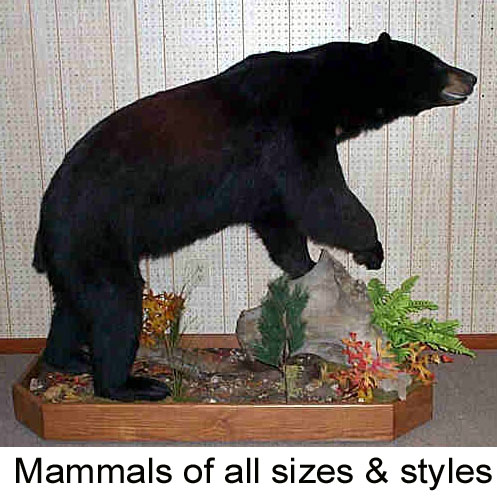 Full body, Rugs, 1/2 mounts - Bears to weasals