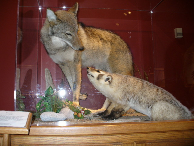 Close up of Coyote & badger